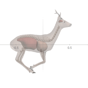 ANIMATED roe deer anatomy